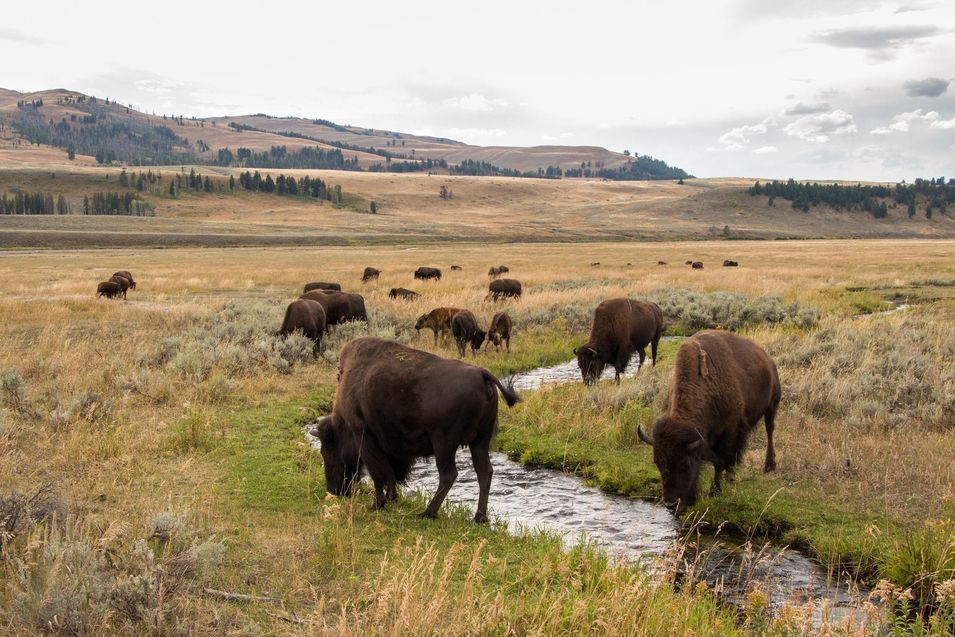 Les bisons de Yellowstone